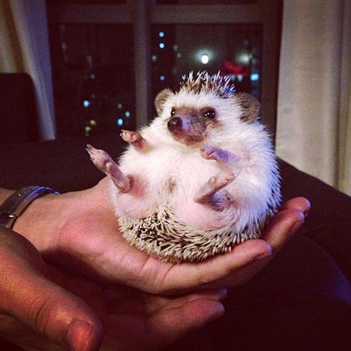 aa-hedgehog