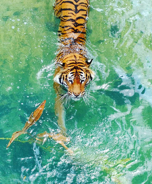 No-More-Dead-Tigers-Campaign-Featured-Image-A
