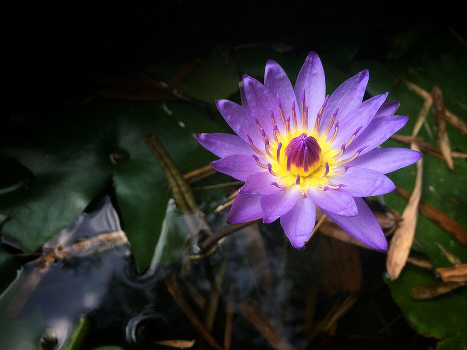 a-the-dusun-seremban-lanai-20-purple-water-lotus